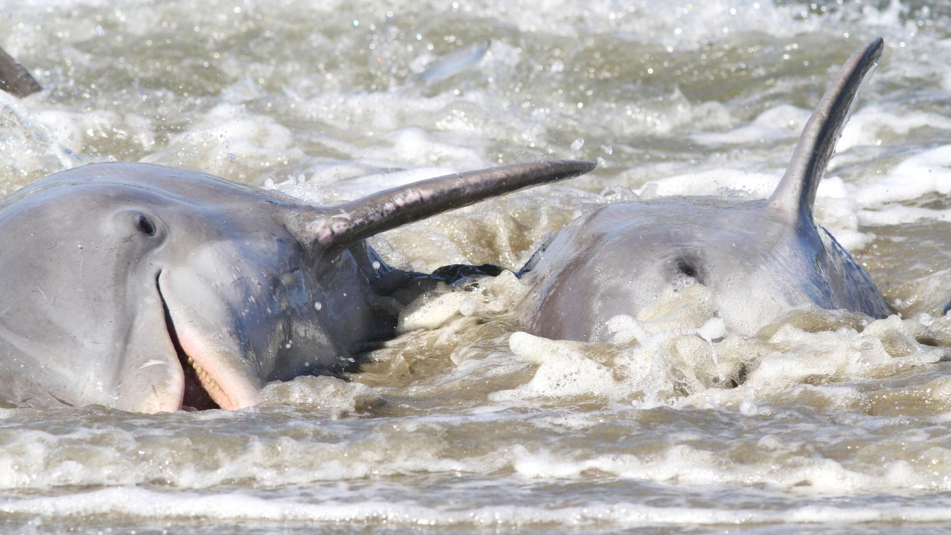 Dolphins Strand Feeding on Kiawah Island at Captain Sams Inlet