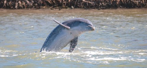 Dolphins on Kiawah Island