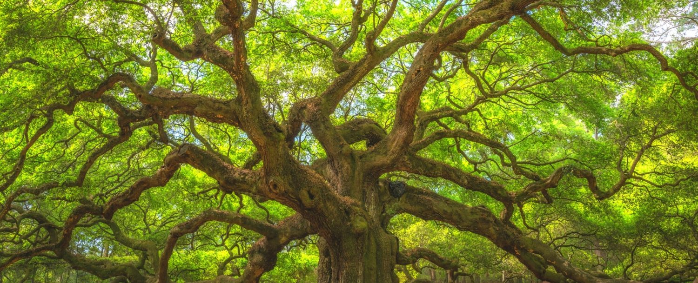 Angel Oak Tree Near Kiawah Island