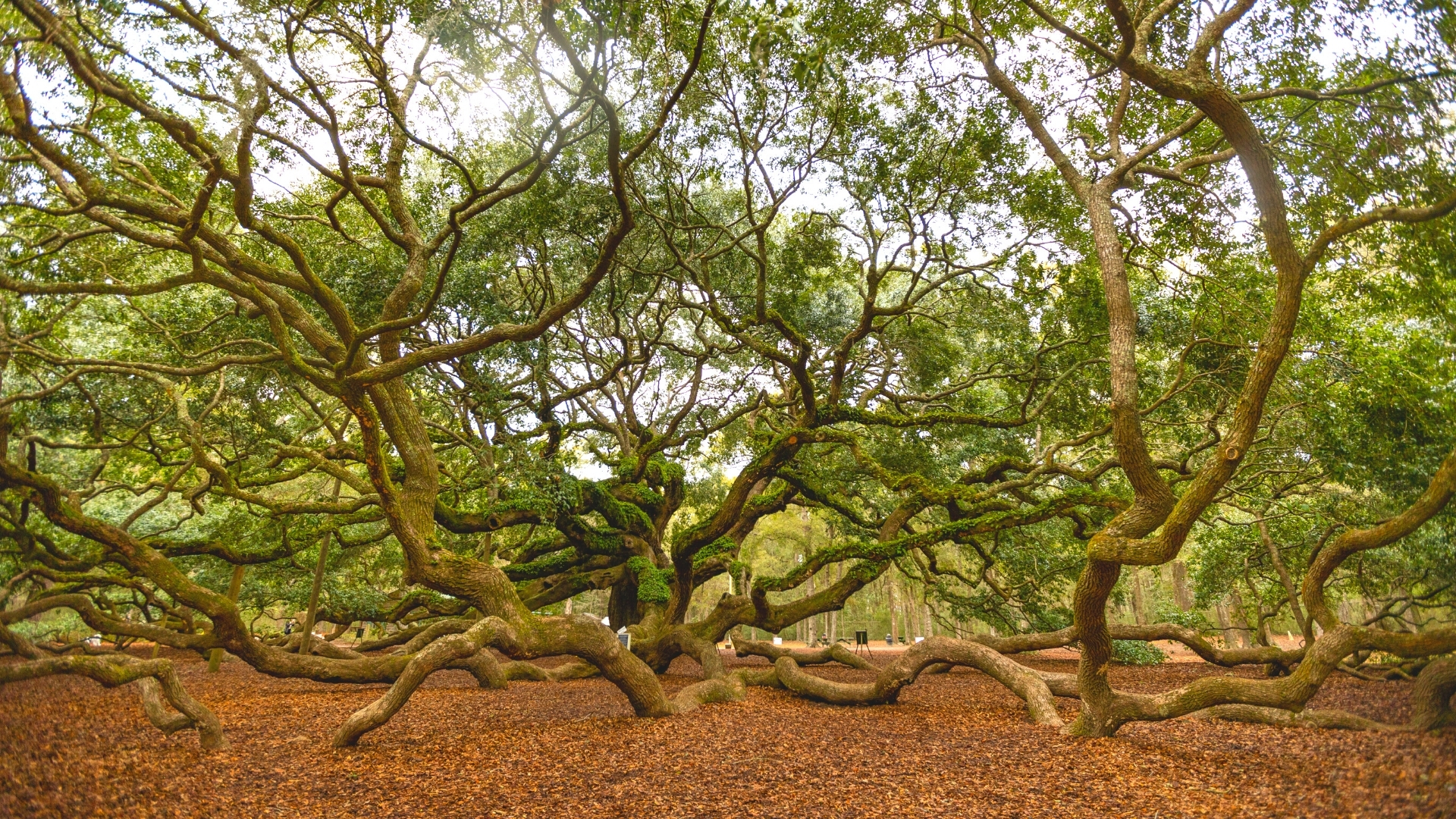 Oldest Living Tree - Angel Oak Tree