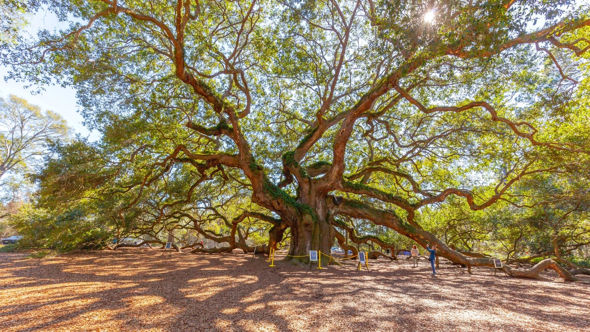 Visit the Angel Oak Tree - Charleston SC